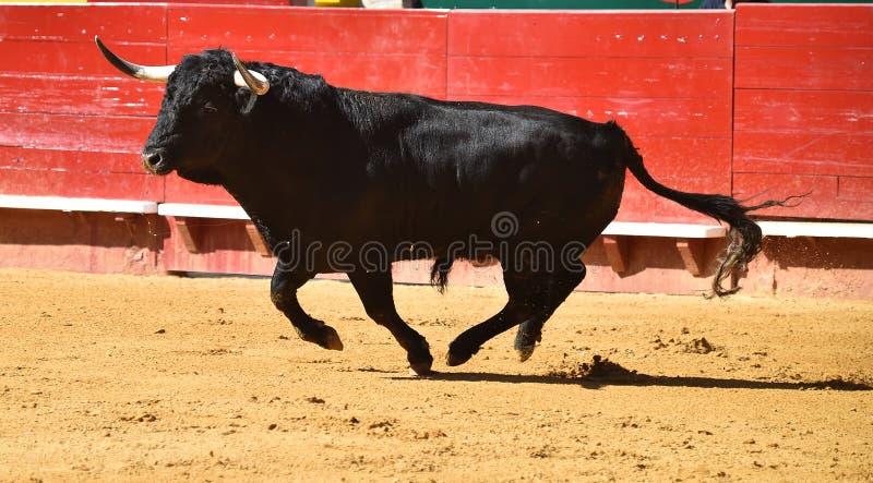 Taureau féroce dans l'arène avec de grands klaxons photos libres de droits
