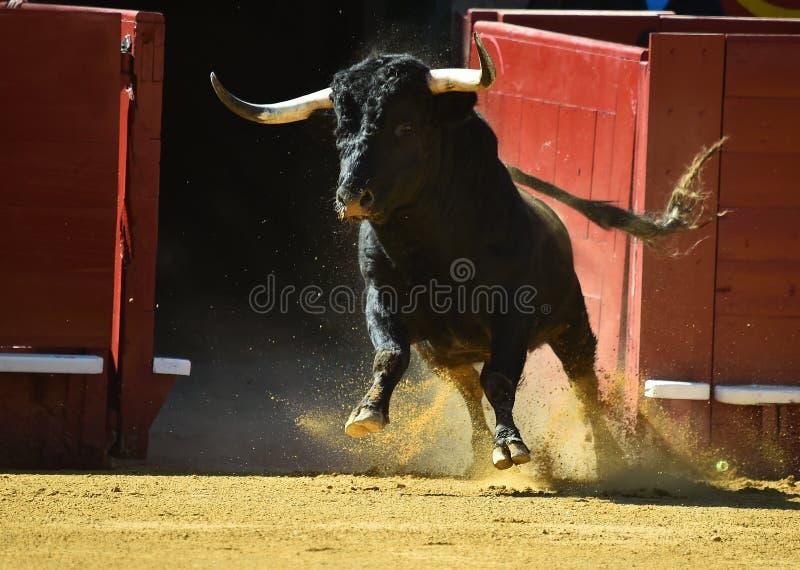 Taureau féroce dans l'arène avec de grands klaxons photographie stock libre de droits