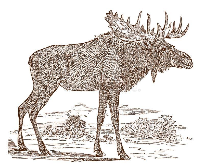 Taureau masculin d'alces d'alces d'orignaux dans la vue de côté, se tenant dans un paysage illustration stock