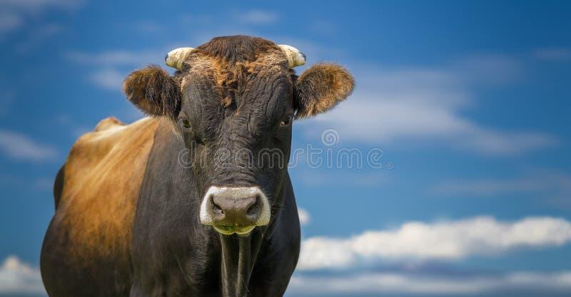 Taureau ou vache se tenant avec le ciel bleu et les nuages photo libre de droits
