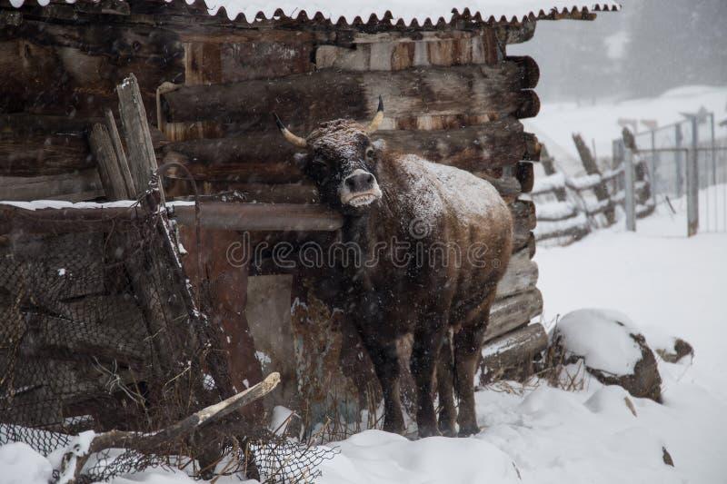 Taureau pendant l'hiver froid en Russie image stock