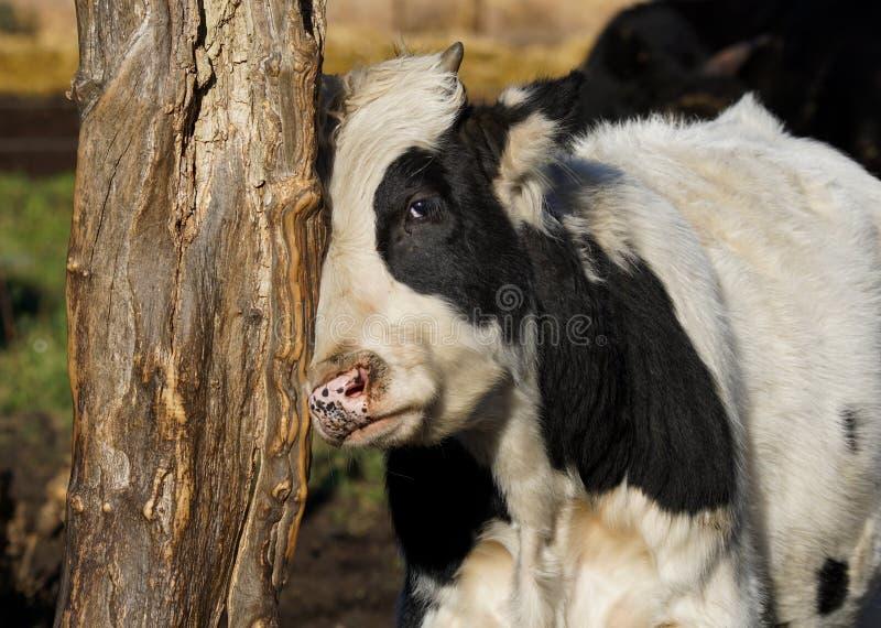 Taureau rayant sa tête contre un tronc d'arbre image stock