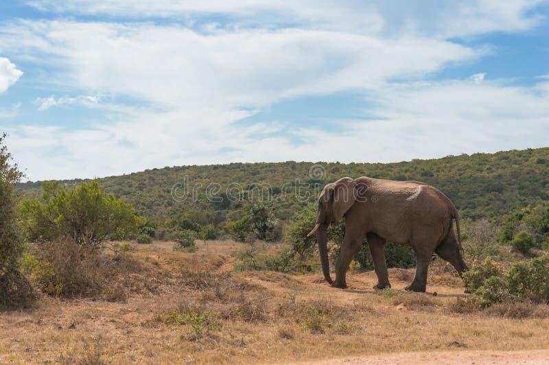 Taureau sauvage d'éléphant dans le paysage africain de la savane photo stock