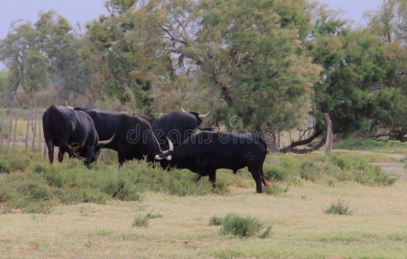 Taureaux noirs dans le Camargue français photos libres de droits