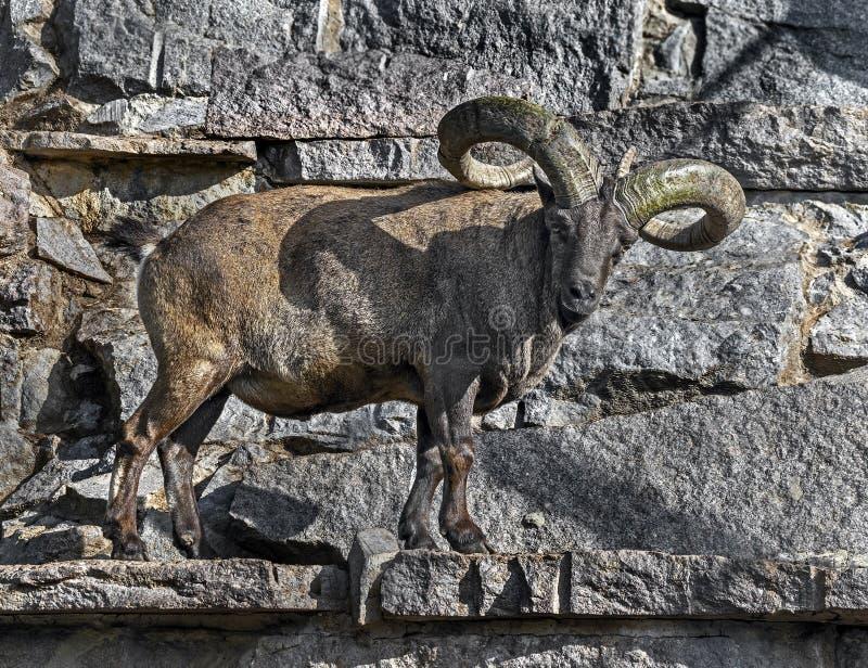 Taurus caucasien oriental sur le rocher 4 photo libre de droits