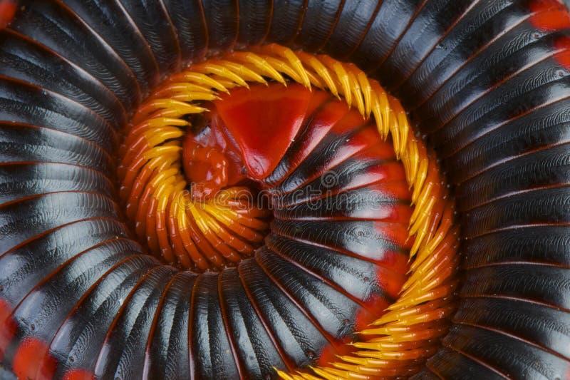 Tausendfüßer des roten Feuers/Aphistogoniulus-corallipes lizenzfreies stockbild