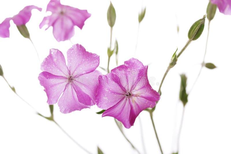 Tautropfen auf den rosa wilden Blumen lokalisiert auf weißem Hintergrund stockfotos