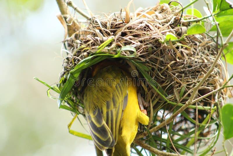 Taveta Weaver nest royalty free stock photo