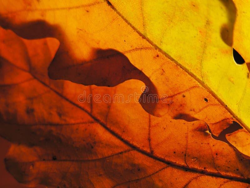 Tavolozza di autunno con il sole tramite le foglie della quercia immagini stock libere da diritti