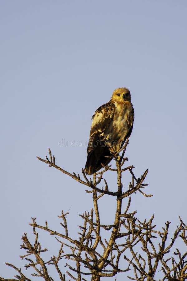 Tawney Eagle - pájaros del gran parque internacional de Lumpopo fotografía de archivo