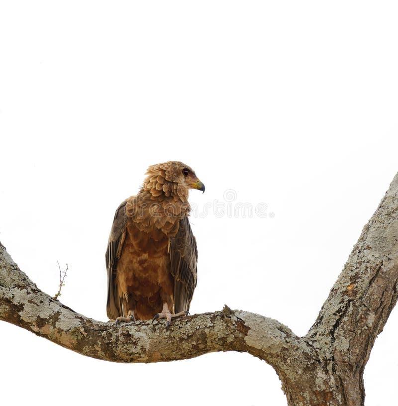 Tawny örn royaltyfri foto