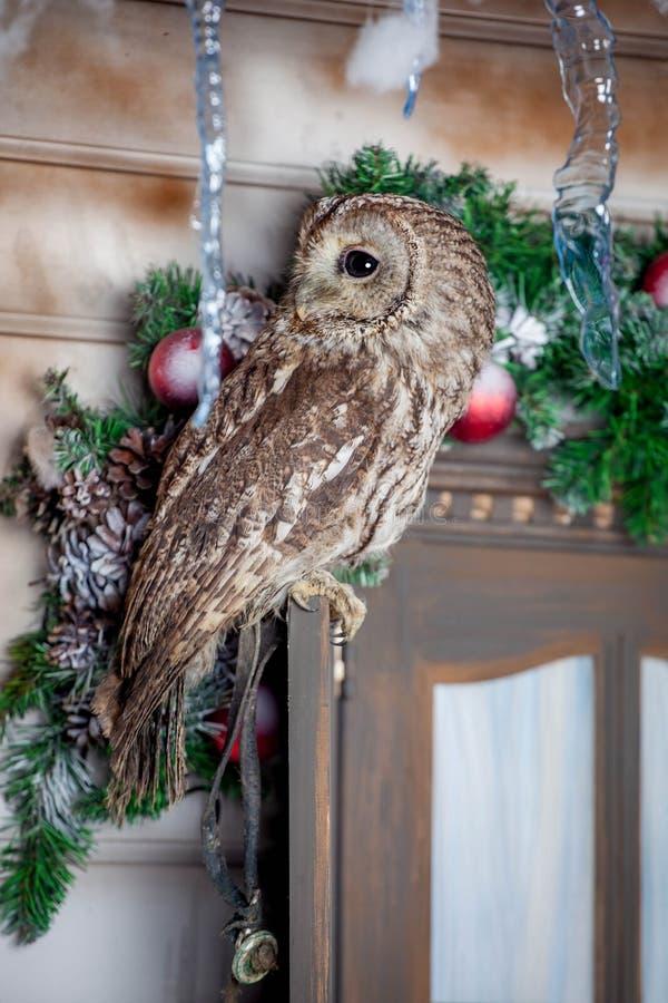 Tawny или сыч Брайна на окне Рождество стоковые изображения rf
