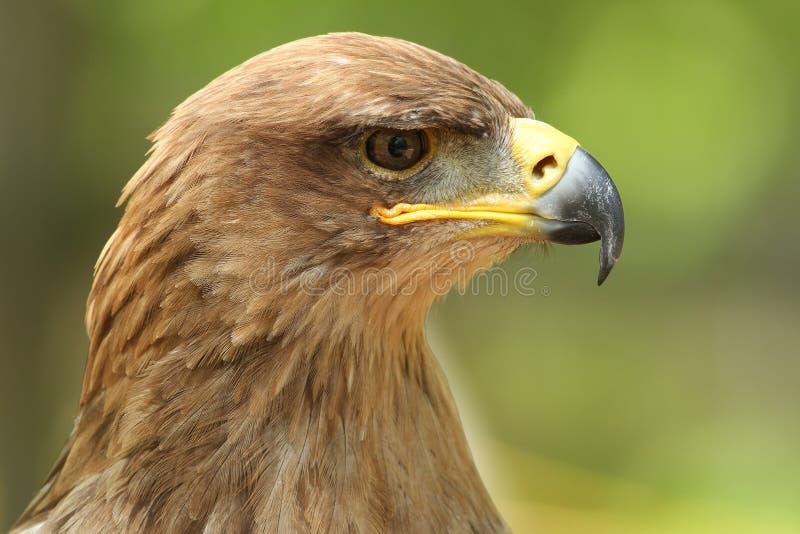 tawny орла стоковое фото rf