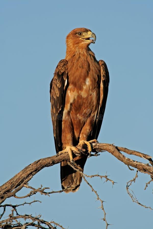 tawny орла стоковые изображения rf