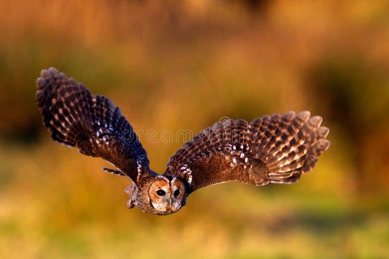 tawny сыча летания