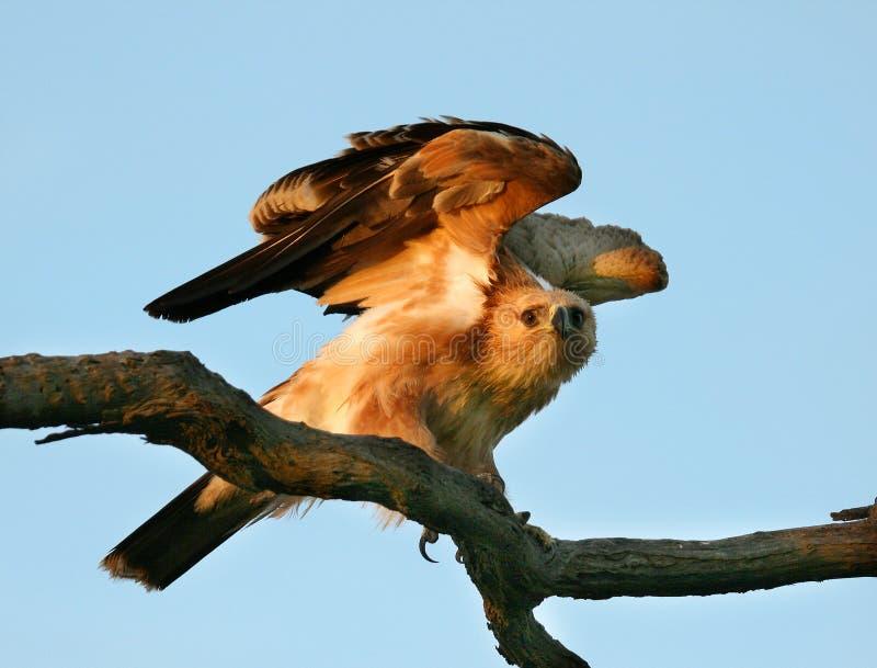Tawny Adler stockfoto