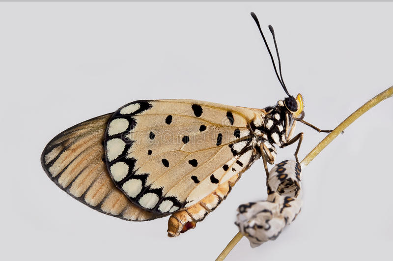 The Tawny Caster From pupa On white background royalty free stock images