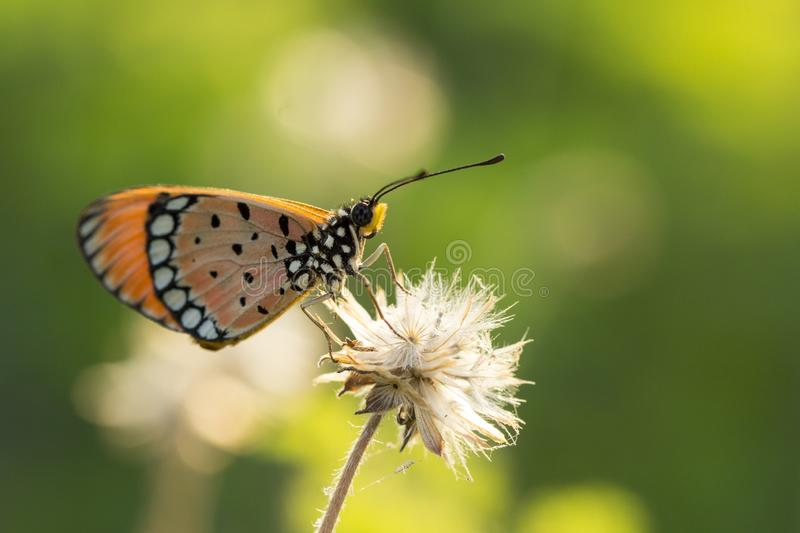 The Tawny Coster butterfly Acraea violae on flower and green nature royalty free stock images