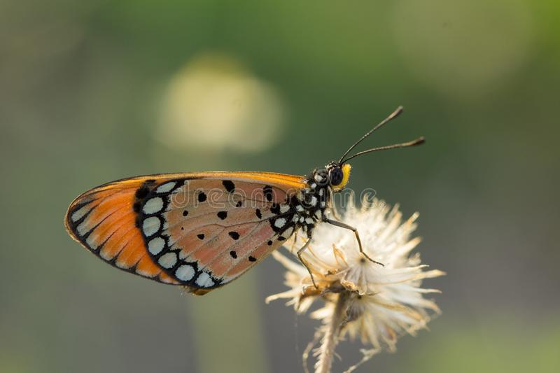 The Tawny Coster butterfly Acraea violae on flower and green nature royalty free stock photography