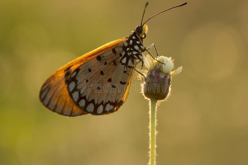 The Tawny Coster butterfly Acraea violae on flower and green nature stock photography