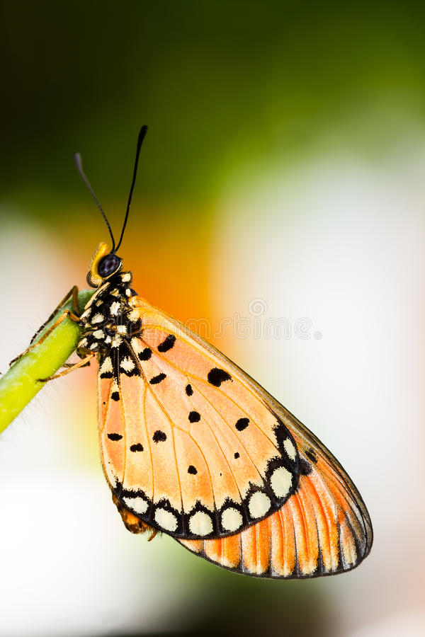 Tawny Coster Butterfly. Close up of Tawny Coster butterfly royalty free stock image