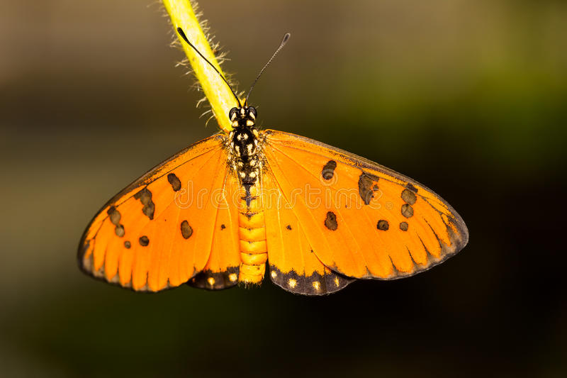 Tawny Coster Butterfly. Close up top of Tawny Coster butterfly stock images