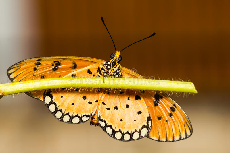 Tawny Coster Butterfly. Close up under of Tawny Coster butterfly royalty free stock photography