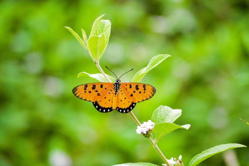 Tawny Coster Butterfly in India stock image
