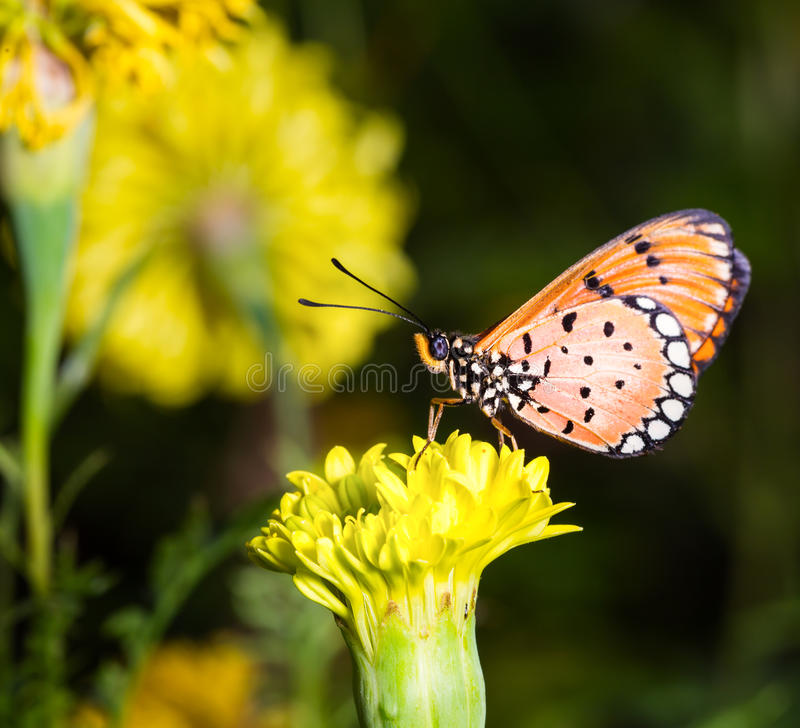 Tawny Coster butterfly on marigold flower. Tawny Coster butterfly resting on marigold flower royalty free stock image