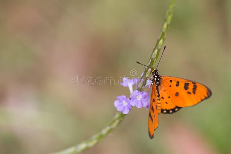 Tawny Coster fjäril - Acraea terpsicorenärbild royaltyfri bild