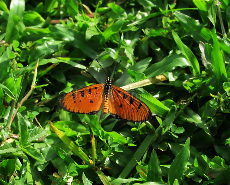 Tawny Coster With Open Wings. Top view of a Tawny Coster butterfly, Acraea Violae, resting on some weeds royalty free stock photography