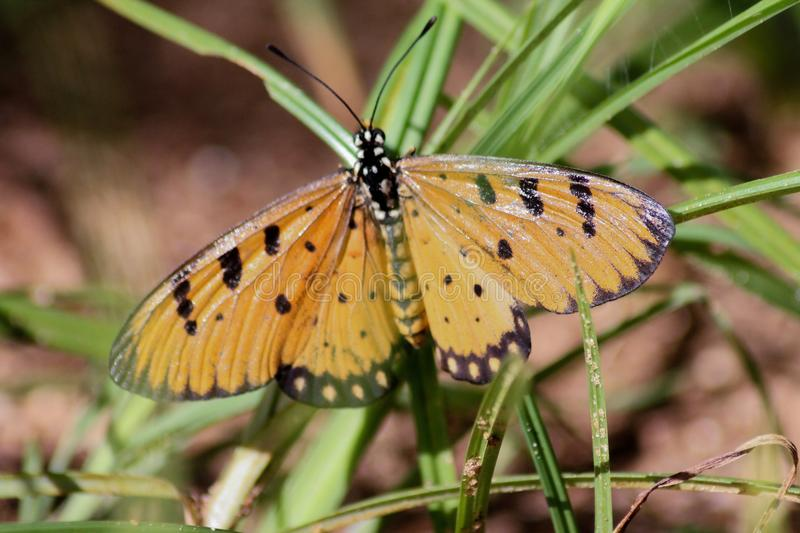 A tawny coster resting close to the ground stock images