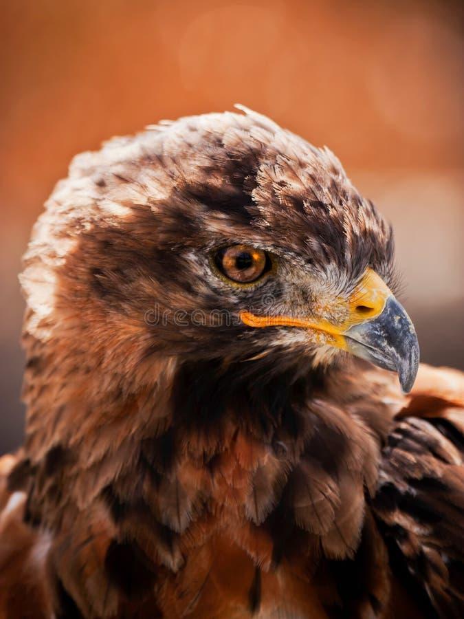 tawny eagel стоковые фотографии rf