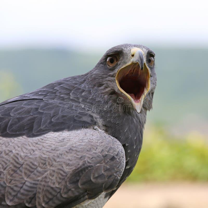 Tawny Eagle obrazy stock