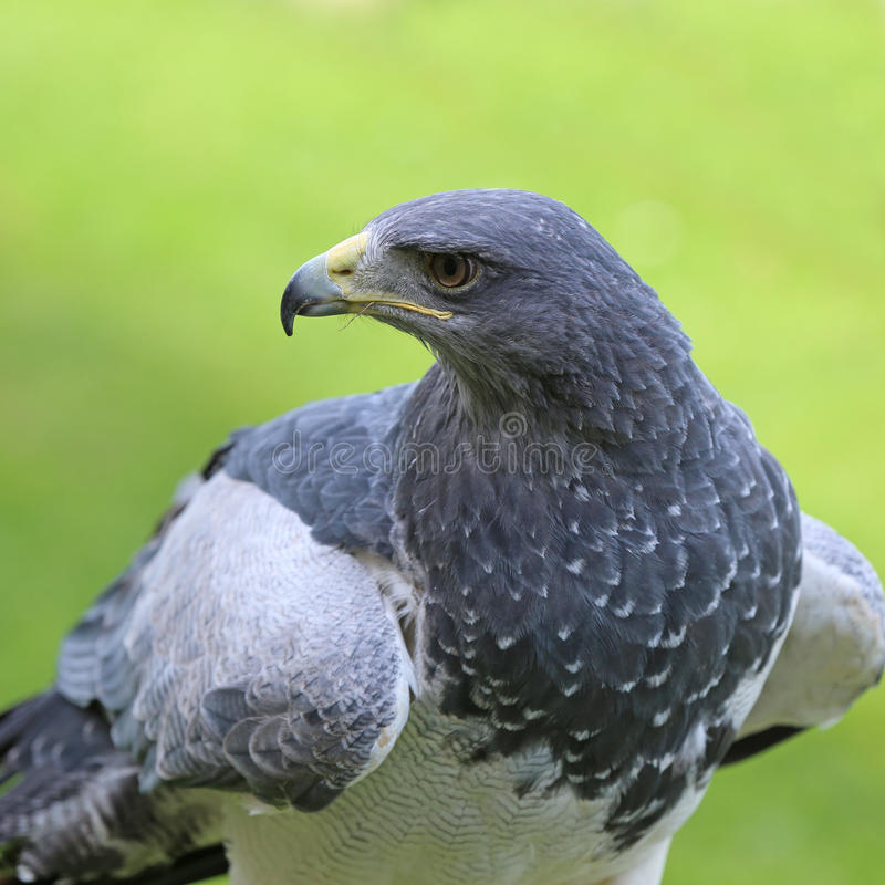 Tawny Eagle fotografia stock