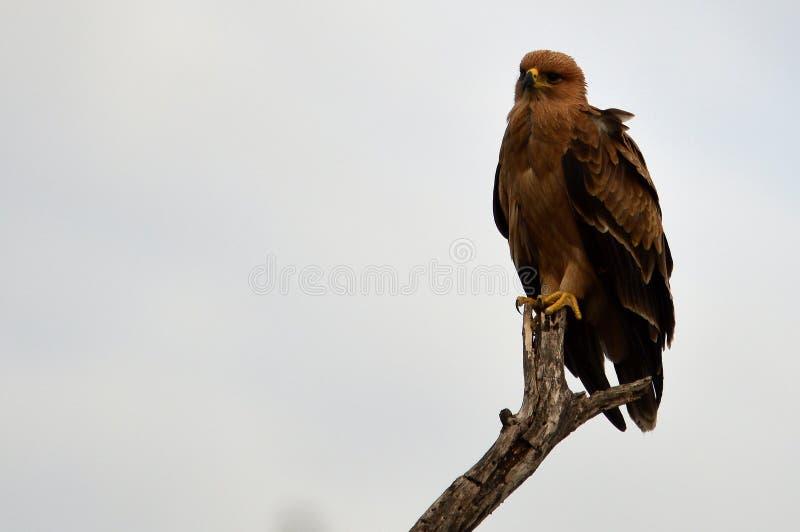 Tawny Eagle (Aquila rapax) stock foto's