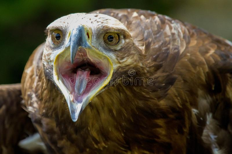 Tawny Eagle, Aquila rapax is een grote roofvogel stock afbeelding