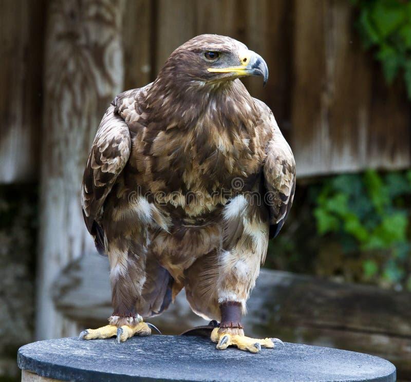 Tawny Eagle, Aquila rapax is een grote roofvogel stock afbeeldingen