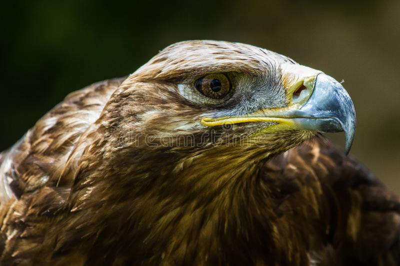 Tawny Eagle, Aquila rapax is een grote roofvogel stock foto