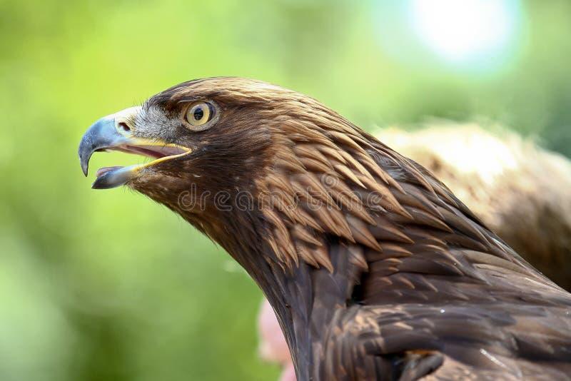 Tawny Eagle, Aquila rapax is een grote roofvogel royalty-vrije stock afbeeldingen