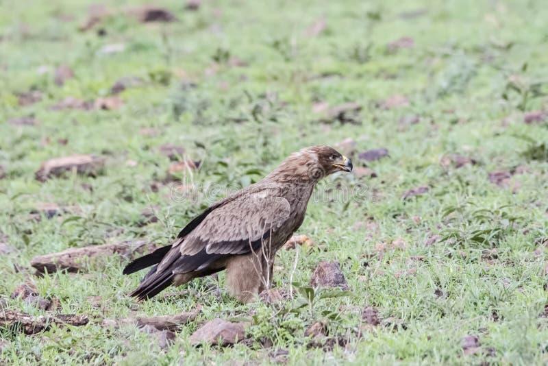 Tawny Eagle Aquila rapax on the Ground in Tanzania. Tawny Eagle Aquila rapax on the Ground in Northern Tanzania stock image
