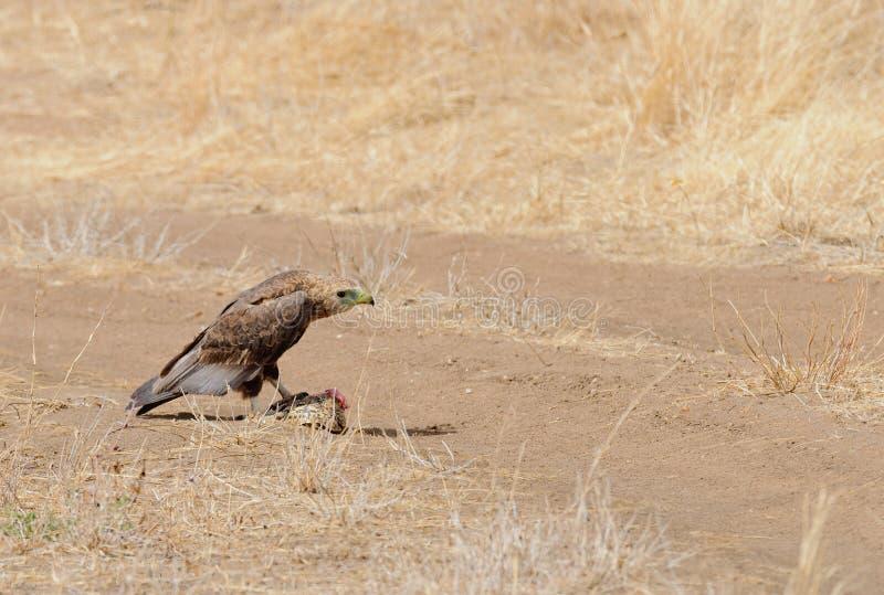 Tawny Eagle Aquila rapax som äter en sköldpadda arkivfoton