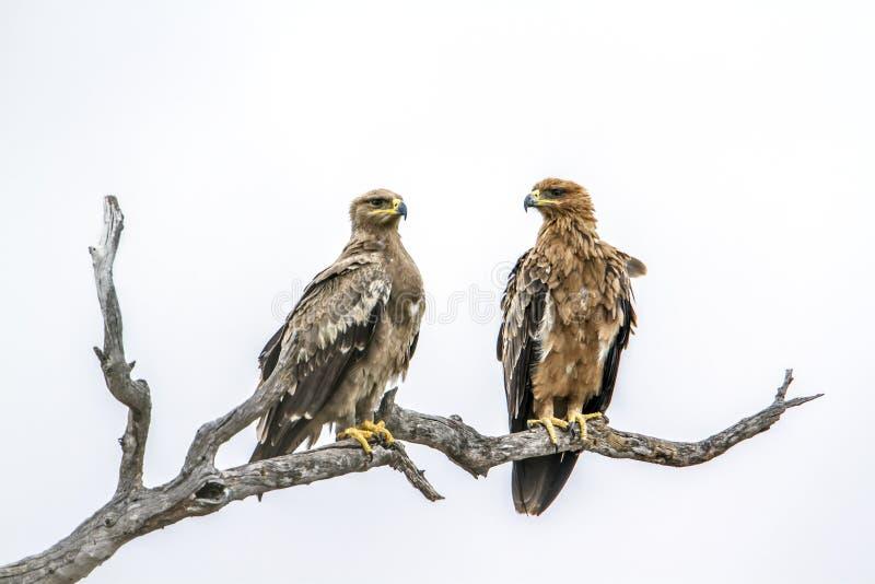 Tawny Eagle nel parco nazionale di Kruger, Sudafrica immagini stock