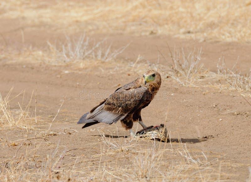 Tawny Eagle som äter en sköldpadda royaltyfri fotografi
