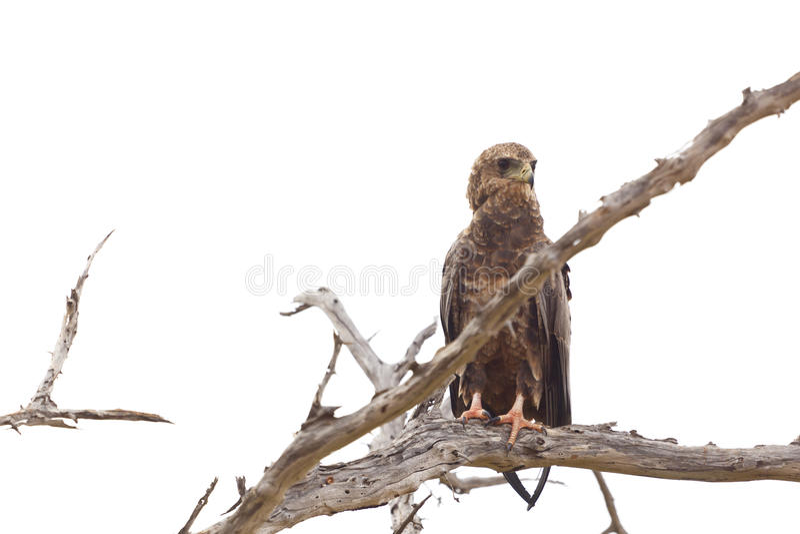 Tawny Eagle In un albero, Kenya fotografia stock