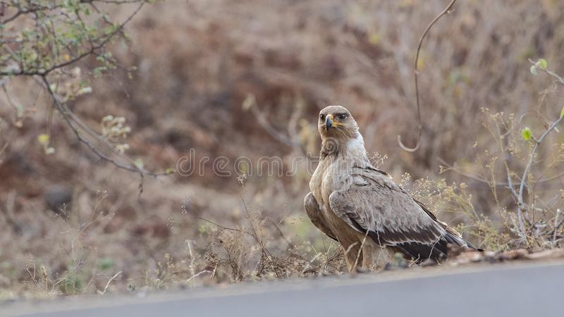 Tawny Eagle Waiting auf Seite der Straße stockfoto