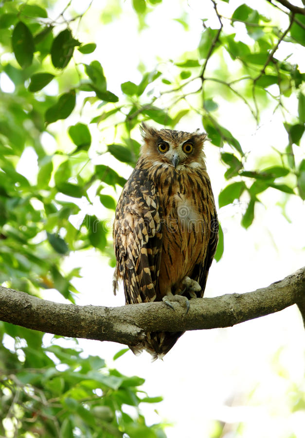 Tawny Fish Owl met al open ooglid drie stock foto's