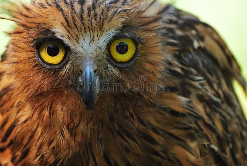 A Tawny Fish Owl stock photography