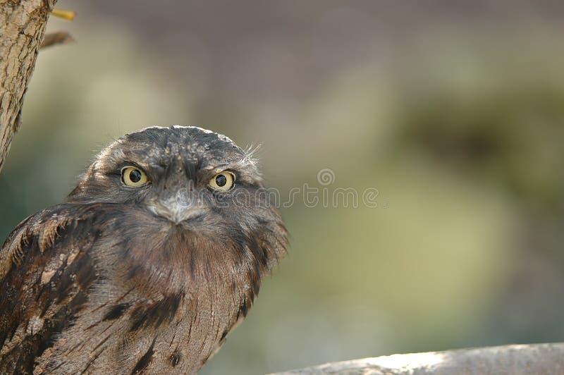 Tawny Frogmouth lizenzfreie stockfotografie