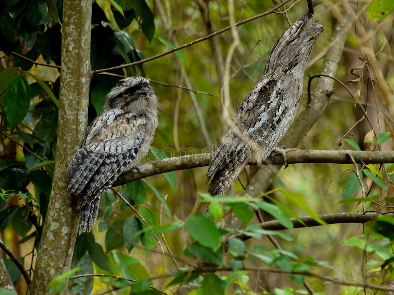 Tawny Frogmouth immagine stock